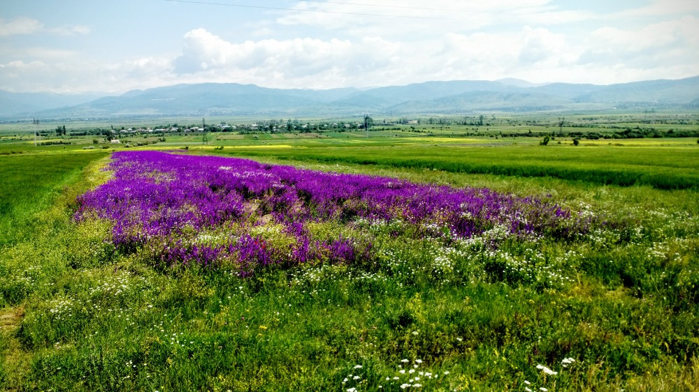 Violette Wiesenblumen Tiflis Gori/velvet wild flowers gori tbilisi